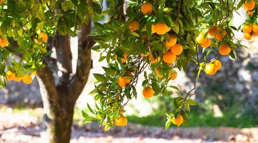 Pomarańcze - dlaczego warto je jeść?