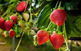 Truskawka - idealny owoc dla zdrowia i urody