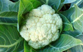 Kalafior - jakie wartości odżywcze posiada?